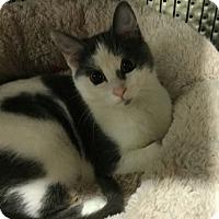 Adopt A Pet :: Moonpie - Lexington, KY