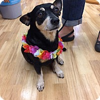 Miniature Pinscher/Dachshund Mix Dog for adoption in Waipahu, Hawaii - Little Guy aka Smalls