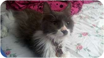 Domestic Mediumhair Cat for adoption in Los Angeles, California - Quinton