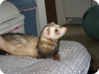 Ferret for adoption in South Hadley, Massachusetts - Emma
