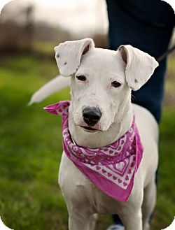 jack russell terrier white lab mix - photo #45
