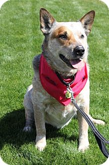 Australian Cattle Dog Mix Dog for adoption in Phoenix, Arizona - Chase