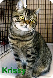 Domestic Shorthair Kitten for adoption in Medway, Massachusetts - Krissy