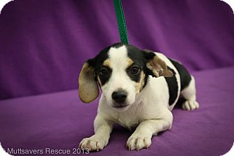 Jack Russell Terrier/Beagle Mix Puppy for adoption in Broomfield, Colorado - Morgan