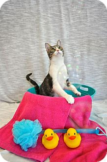 Domestic Shorthair Cat for adoption in Del Rio, Texas - Shiloh