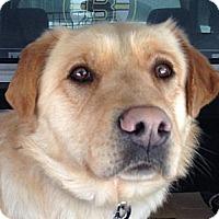 Adopt A Pet :: Yukon - Rigaud, QC