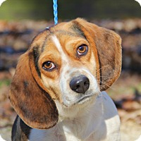 Adopt A Pet :: BRODY - cute as a button - Pewaukee, WI