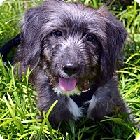 Adopt A Pet :: Hercules-Adoption pending - Bridgeton, MO
