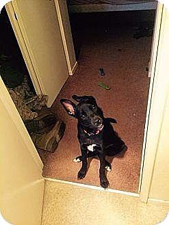 Labrador Retriever/Shepherd (Unknown Type) Mix Dog for adoption in Leonardtown, Maryland - Cujo (Courtesy Post)