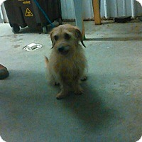 Dachshund/Wirehaired Fox Terrier Mix Dog for adoption in Clarksville, Tennessee - Barnaby