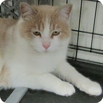Domestic Mediumhair Cat for adoption in Buhl, Idaho - Simon