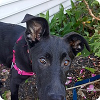 Adopt A Pet :: Raven~ meet me! - Glastonbury, CT