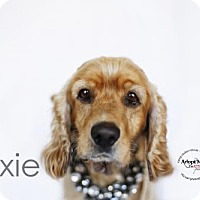 Adopt A Pet :: Dixie - Sherman Oaks, CA