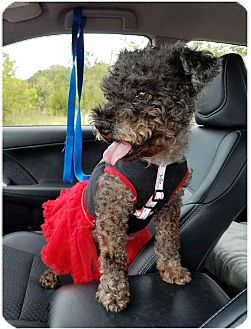 Miniature Poodle/Miniature Schnauzer Mix Dog for adoption in Fredericksburg, Virginia - Sassy