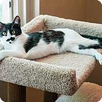 Domestic Shorthair Cat for adoption in San Diego, California - Black Pantherette