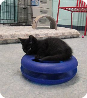 Domestic Shorthair Kitten for adoption in Warrenton, North Carolina - Sallie
