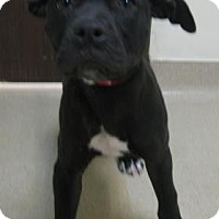 Adopt A Pet :: Ann - Gary, IN
