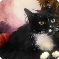 Domestic Mediumhair Cat for adoption in Vacaville, California - Miami