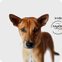 Adopt A Pet :: KODA - Sherman Oaks, CA