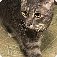 Domestic Shorthair Cat for adoption in Fort Collins, Colorado - Simba