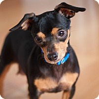 Adopt A Pet :: Dollbaby - Frederick, MD