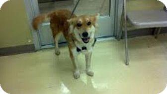 Husky Mix Dog for adoption in Marietta, Georgia - Vixen