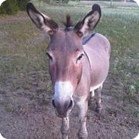 Donkey/Mule/Burro/Hinny/Donkey/Mule/Burro/Hinny Mix for adoption in Quinlan, Texas - Chico