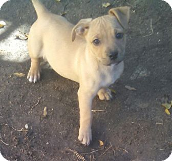Corgi/Hound (Unknown Type) Mix Puppy for adoption in temecula, California - PRANCER