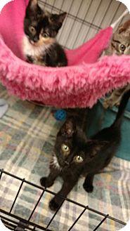 Domestic Shorthair Kitten for adoption in Land O Lakes, Florida - Jon
