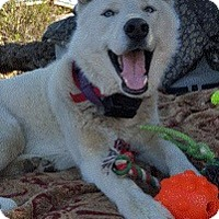 Husky Dog for adoption in Van Nuys, California - *URGENT* Royce