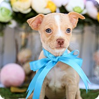 Adopt A Pet :: Tiny Tim - Auburn, CA