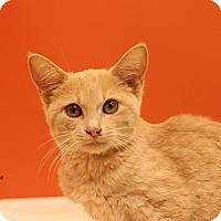 Domestic Shorthair Kitten for adoption in Flushing, Michigan - Carmello