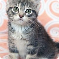 Adopt A Pet :: Astra - St Louis, MO