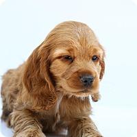 Adopt A Pet :: Sparky - Loomis, CA