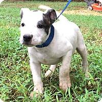 Adopt A Pet :: Spot - Plainfield, CT