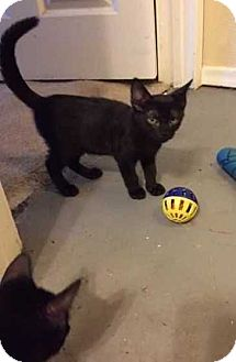 Domestic Shorthair Kitten for adoption in Allen, Texas - Rain