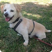 Adopt A Pet :: Morrey - San diego, CA