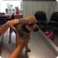 Adopt A Pet :: Kiki - S. Pasedena, FL