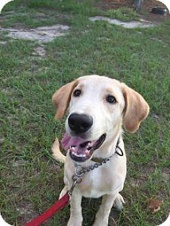 Labrador Retriever/Labrador Retriever Mix Puppy for adoption in Minneola, Florida - Skipper