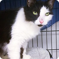Domestic Shorthair Cat for adoption in Webster, Massachusetts - Sundae