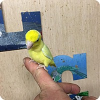 Parrotlet for adoption in Woodbridge, New Jersey - Petrie