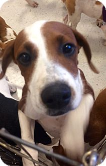 Boxer Mix Puppy for adoption in Manchester, Connecticut - Symphony in CT
