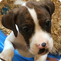 Adopt A Pet :: Darcy pup - Pompton Lakes, NJ
