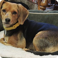 Beagle Mix Dog for adoption in Manchester, New Hampshire - Daisy