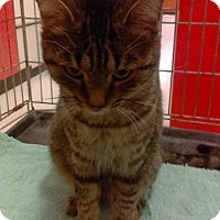 Domestic Shorthair Cat for adoption in Lancaster, California - Lilly