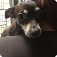 Adopt A Pet :: Figgie - Westminster, CA