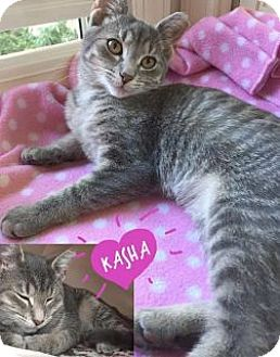 Domestic Shorthair Kitten for adoption in Toledo, Ohio - Kasha