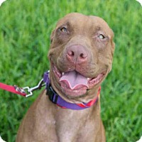 Adopt A Pet :: BROWNIE - West Palm Beach, FL