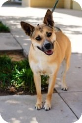 Australian Cattle Dog/Shepherd (Unknown Type) Mix Dog for adoption in Justin, Texas - Goldie