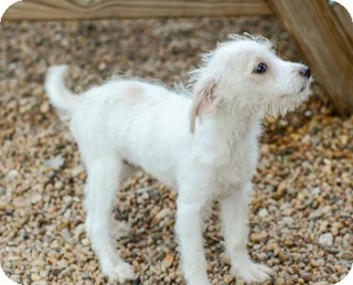 Poodle (Miniature)/Terrier (Unknown Type, Small) Mix Puppy for adoption in Norwalk, Connecticut - Betty Sue